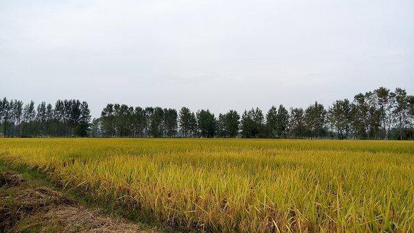 In Rice Field, Ye Tian, Autumn