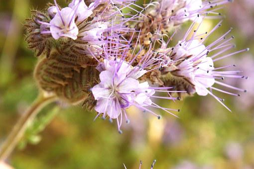 Tansy Phacelia, Summer, Plant, Flower, Macro, Flowers