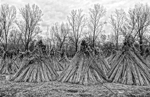 Reed, Reed Stack, Nature, Black And White