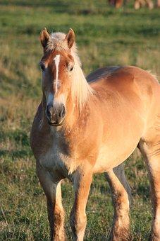 Horse, Amish, Percheron, Animal, Country, Outdoors