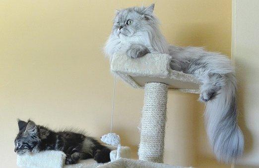 Persian Cats, Persian Chinchilla, Silver Shaded
