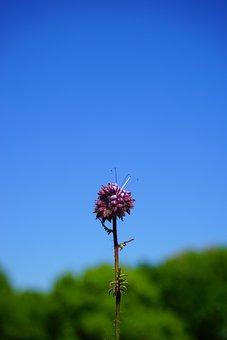 Phacelia, Flower, Blossom, Bloom, Inflorescence