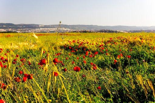Sea Of Flowers, Poppies, In Wheat Field, Hope, Ye Tian