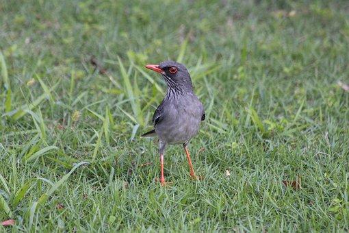 Red-legged Thrush, Turdus Plumbeus Ardosiaceus, Bird