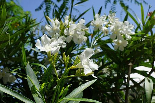 Rhododendron, Flower, Bush, White Blossom, Summer