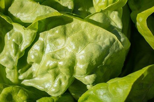 Salad, Green, Leaf Lettuce, Lettuce, Lettuce Leaves