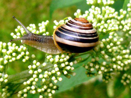 Snail, Garden Snail, Shell, Snail Shell, Probe, Mollusk