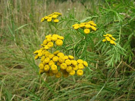 Tanacetum Vulgare, Tansy, Flower, Flora, Botany