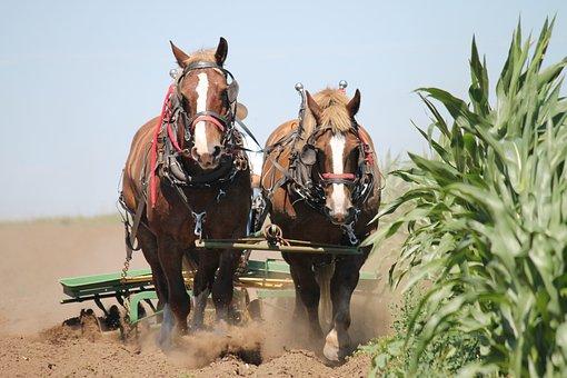 Belgian Horses, Harness, Team, Historic, Amish, History