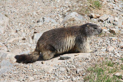 Marmot, Alps, Alpine Marmot, Animal, Wild Animals