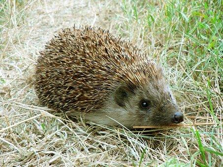 Hedgehog, Grass, Close, Eyes, Animal, Brown, Green