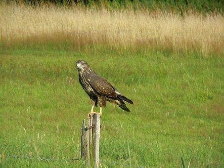 Bird, Common Buzzard, Bird Of Prey