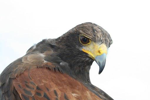 Bird Of Prey, Common Buzzard, Nature
