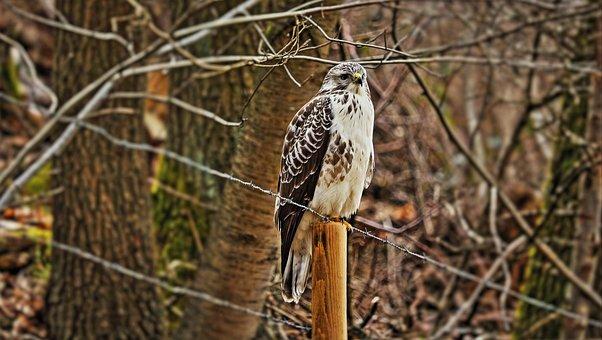 Bird, Animal, Common Buzzard, Bird Of Prey, Birds