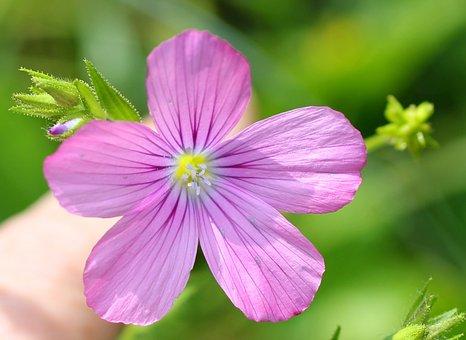 Sticky Lein, Wild Flower, Pink, Blossom, Bloom