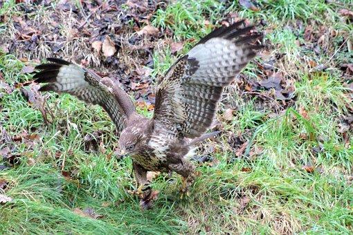 Hawk, Falcon, Common Buzzard, Buzzard, Bird Of Prey