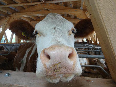 Cow, Simmental, Stall, Cowshed, Simmental Cow