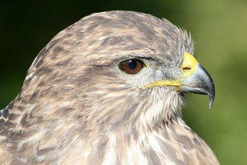 Animal, Bird, Common Buzzard, Hawk, Feathered, Birds