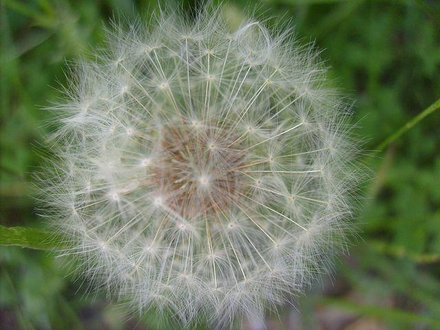 Dandelion, Fuzz, Ball, Seeds, Summer, Blossom, Botany