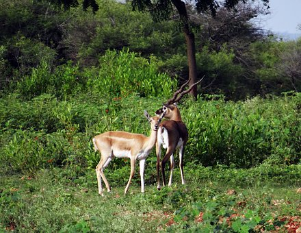 Blackbuck, Animal, Antelope, Ranebennur, Karnataka
