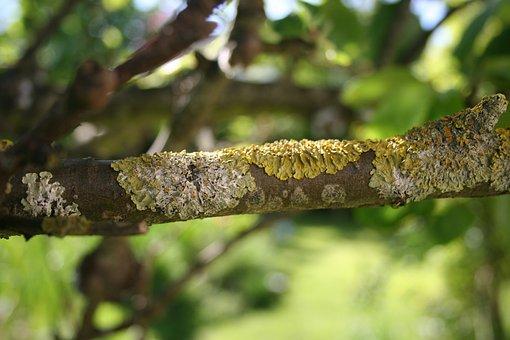 Lichen, Lichens, Lichen On Branches, Nature, Tree