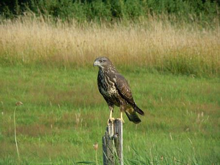 Bird, Common Buzzard, Bird Of Prey, Nature