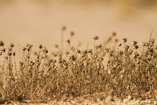 Withers, Desert, Hot, Summer, Brown, Dead, Plant