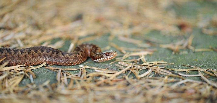Adder, Snake, Reptile, Toxic, Nature, Garden