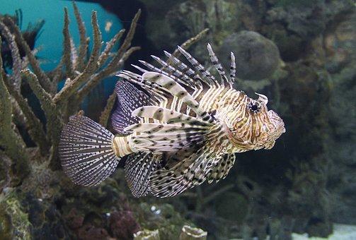 Lion Fish, Fish, Pterois, Ocean, Tropical, Poisonous