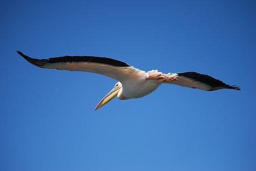 Pelikan, Fly, Bird, Water Bird, Wing, Fly Away