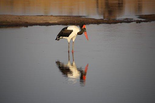 Saddle Billed Stork, Zimbabwe, Bird, Africa, Wildlife