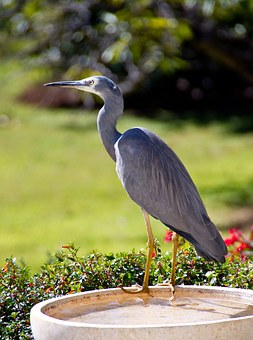 White-faced Heron, Heron, Wild, Australia, Perching