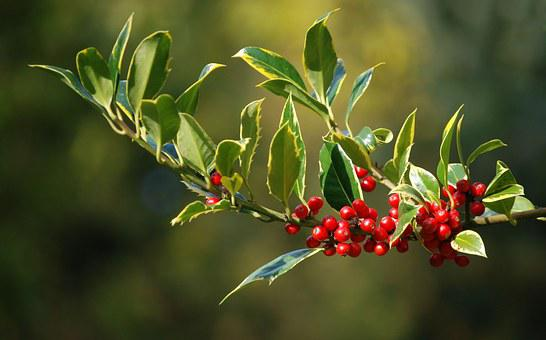 Holly, Berries, Christmas, Leaves, Plant, Natural