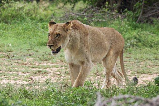 Lioness, Walking, Cat, Big 5, Wild, Female, Predator