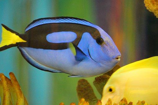 Blue Tang, Fish, Dory, Underwater, Blue, Aquarium