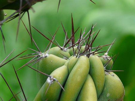 Spur, Rock Cactus, Cereus Peruvianus Monstrosus, Cereus