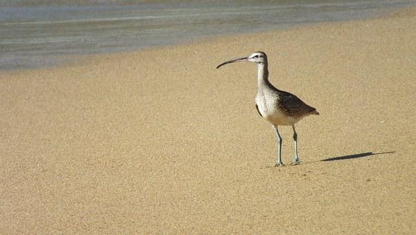 Long Billed Hudsonian, Ave, Beach, Chile, Sea, Nature