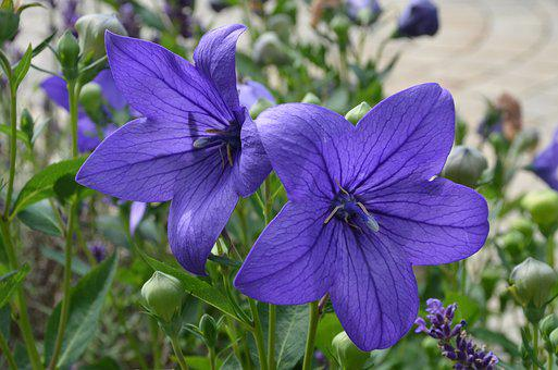 Balloon Flower, Chinese Bellflower