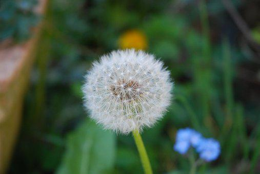 Flowers, Dandelion, Nature, Dry, Seeds, Dandelion Wish