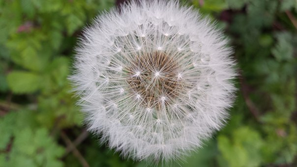 Blowing, Dandelion, Wish, Plantdry, White, Fluffy