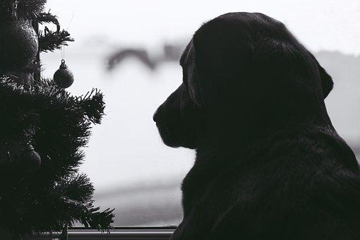 Dog, Animal, Labrador, Doggy, Dogs, Longing, Window
