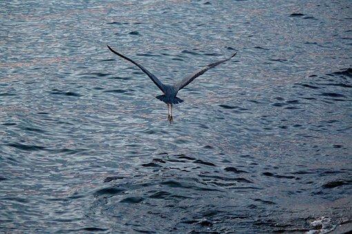 Water Bird, Heron, Flight, Elegant, Grey, Early Morning
