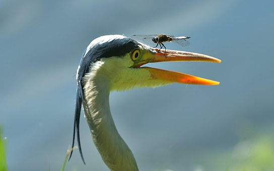 Grey Heron, Blue Arrow, Dragonfly, Emergency Landing