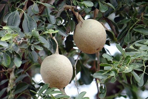 Elephant-apple, Monkey Fruit, Curd Fruit, Kaitha, Fruit