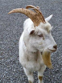 Goat, White, Animal, Farm, Mammal, Ram, Livestock