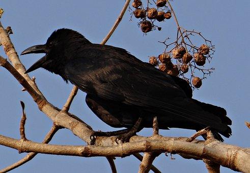 Indian Jungle Crow, Corvus Macrorhynchos