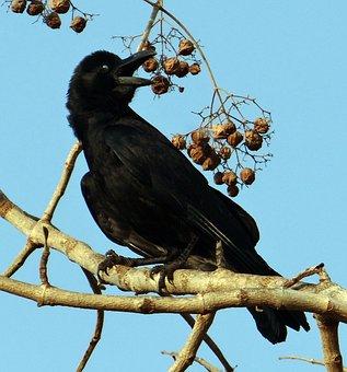 Indian Jungle Crow, Eyelid Shut, Corvus Macrorhynchos