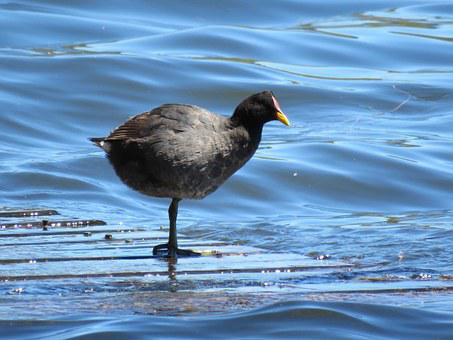 Nature, Birds, Waterfowl, Wild, Lago Vichuquén, Fauna