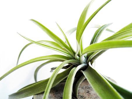 Tillandsia, Air Plant, Leaf, Bromeliaceae, Green