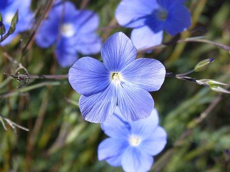Linum, Blue Flower, Beauty